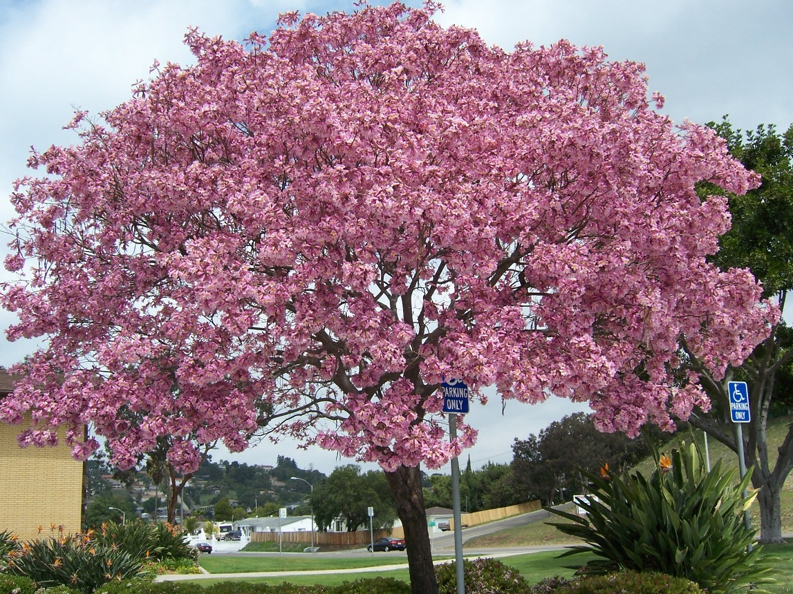 The 2 Minute Gardener Pink Trumpet Tree Tabebuia impetiginosa