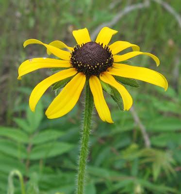and the Black-eyed Susan  Rudbeckia hirta  Leucanthemum Vulgare Drawing