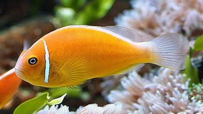 ปลาการ์ตูนอินเดียนแดง