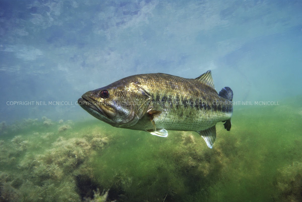 largemouth bass underwater largemouth bass against a backdrop of reeds    Largemouth Bass Pictures Underwater