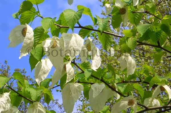 Botaniquarium - Davidia involucrata in flower