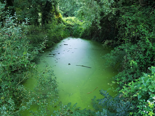 Duckweed on Dickerson's Pit