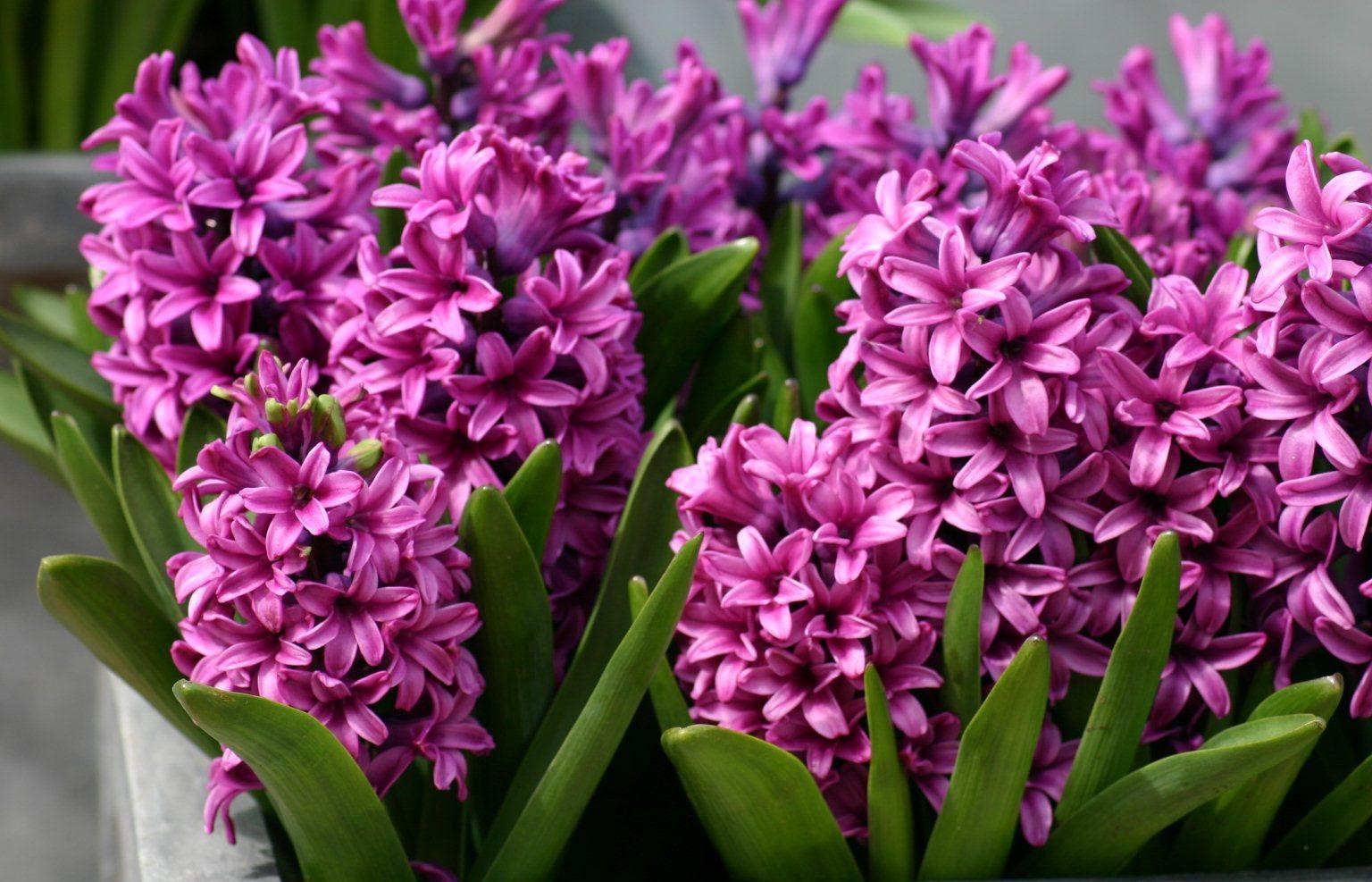 Описание и фото цветов гиацинт