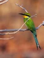 El abejaruco de cola de golondrina: