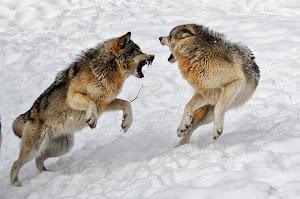 Χορεύοντας με τους λύκους