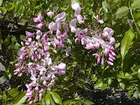 種類が違うフジの花