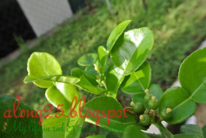 blog along25, along25, berkebun, gardening, aktiviti tabika, limau kasturi, bunga limau kasturi, pokok limau kasturi, carbon footprint