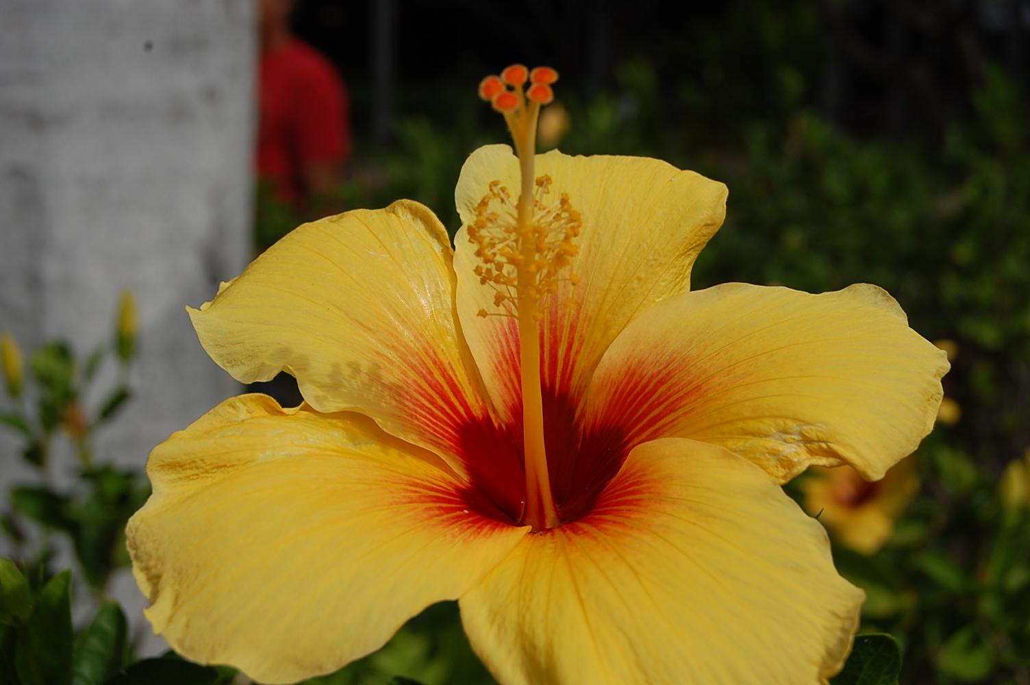 Nana Porcupine Hawaiian Adventure Flowers