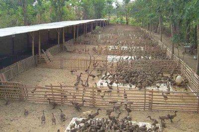5 Tips Cara untuk memulai usaha peternakan Bebek