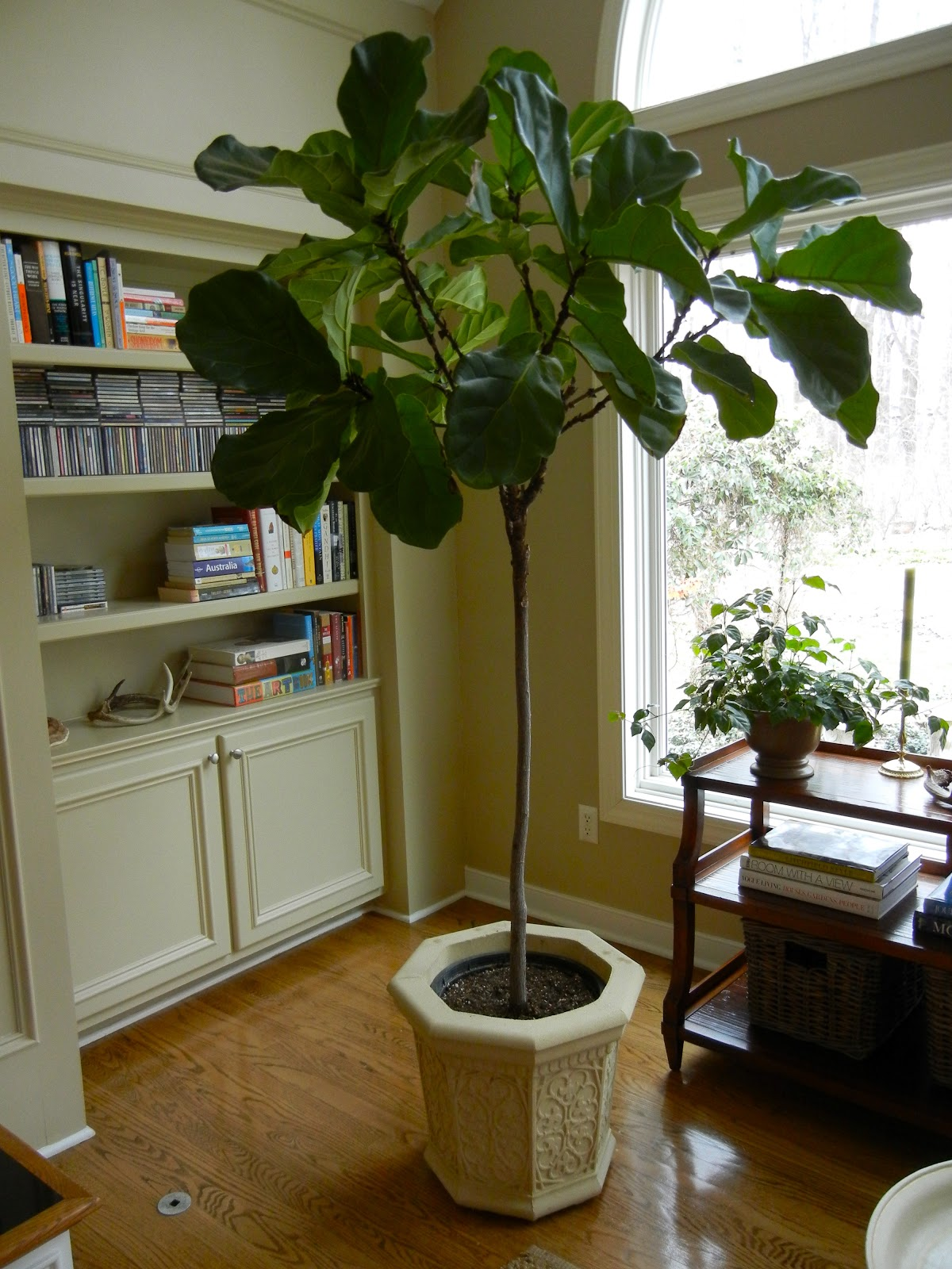 our fig tree sits next to a northern exposure window so it reaches a bit to get the light it came with a tangle of gorgeous leaves when we purchased it and