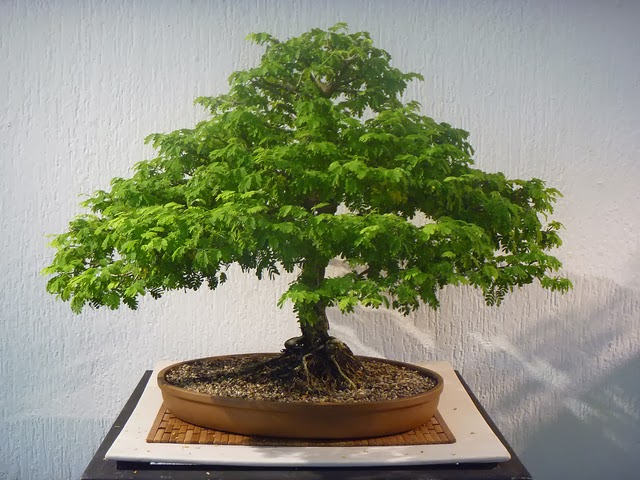 Kokedamas venta mayorista cuidar un bonsai es f cil - Como cuidar un bonsai ...