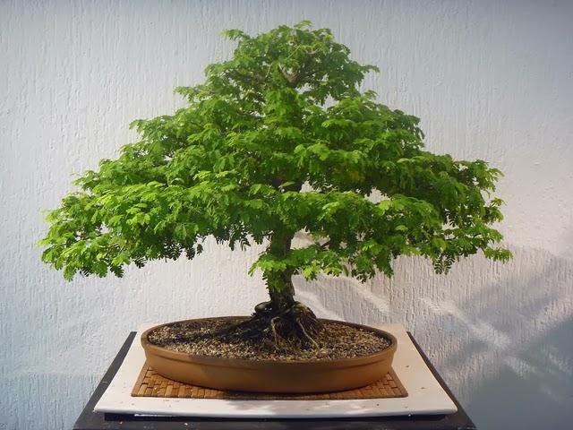 Kokedamas venta mayorista cuidar un bonsai es f cil - Como cuidar bonsais ...