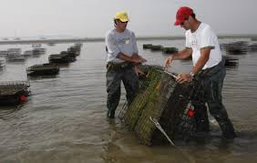 island creek oyster growers