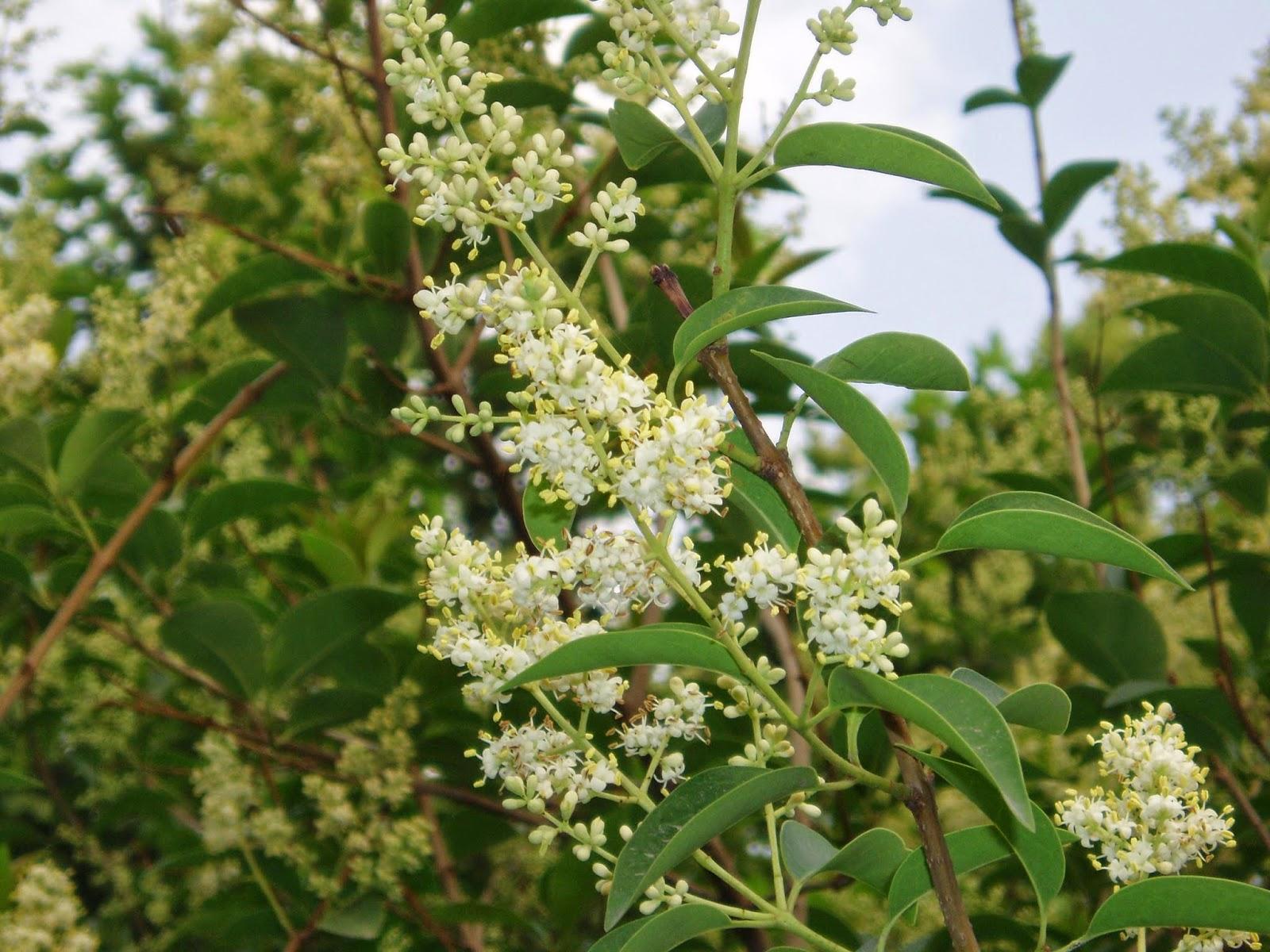 木犀科植物女貞葉