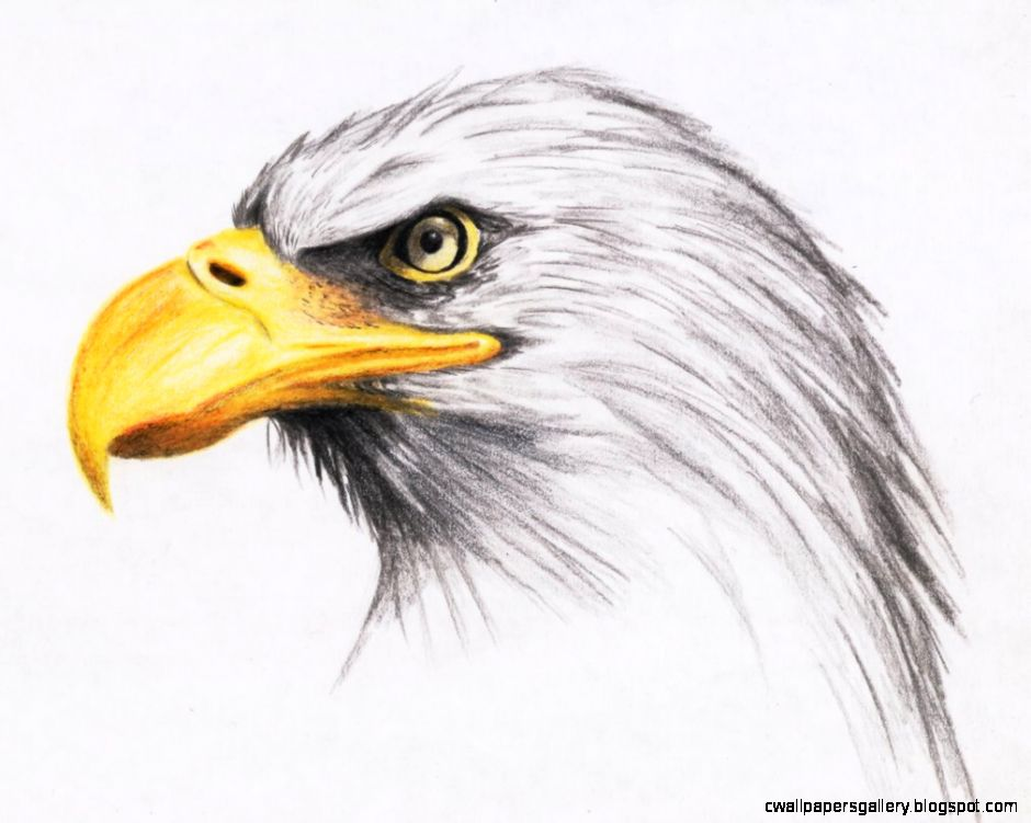Eagle Drawings In Color Size 1011x791 59650