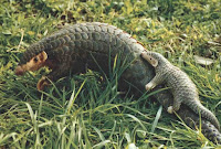 http://sciencythoughts.blogspot.co.uk/2014/08/chinese-pangolin-classified-as.html