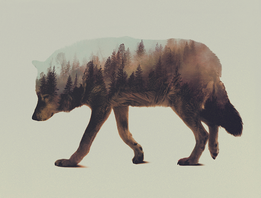 13-Wolf-Andreas-Lie-Animals-in-Photographic-Double-Exposures-www-designstack-co