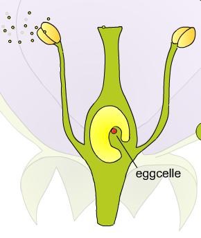 pollen er sædceller