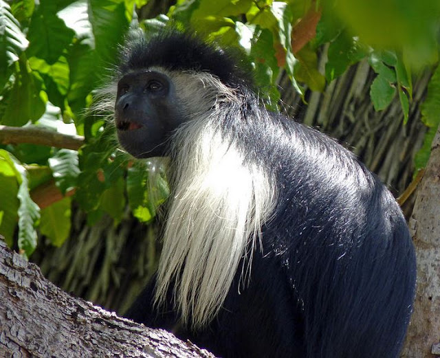 Buy stretched canvas print of Black and White Colobus Monkey