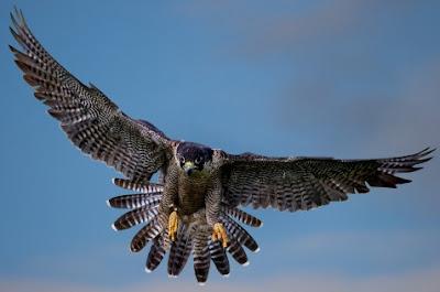 Halcón volando con alas extendidas