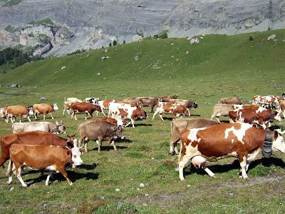 some random cows