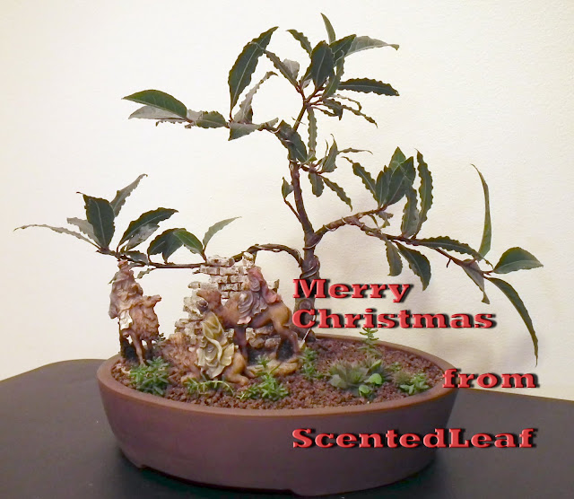 Merry Christmas everyone from ScentedLeaf (Bay Laurel bonsai)
