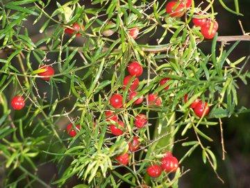 Fiori piante e giardini del mondo asparagina la pianta for Pianta ornamentale con bacche rosse