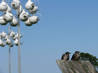 purple martins, purple martin house