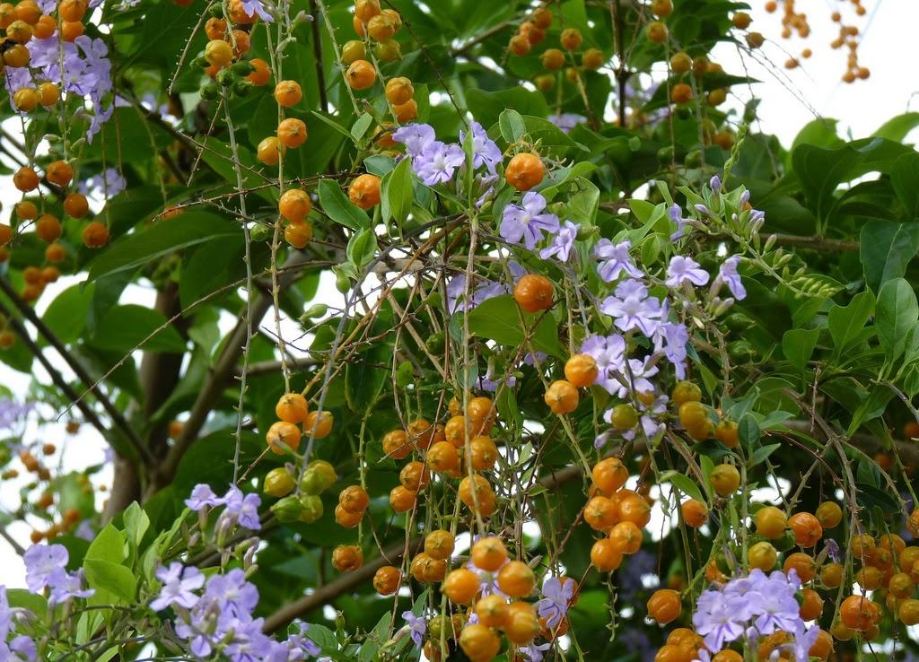 Khasiat Bunga Sinyo Nakal untuk Kesehatan