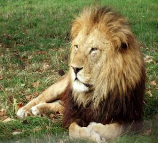 أسد يحاول افتراس امرأة.. فينقذ حياتها - lion