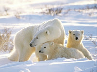 http://3.bp.blogspot.com/-j_H-gIH9rCc/TrlxC36k9AI/AAAAAAAAIQo/Og9bb1g2CBc/s1600/lrg-1604-winter-animals-pictures-polar-bear-cub.jpg