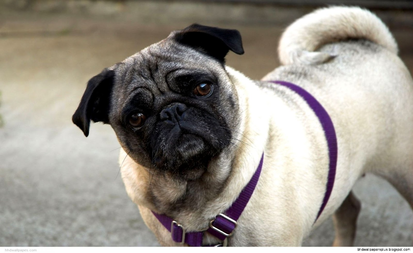 Funny Dogs Pugs