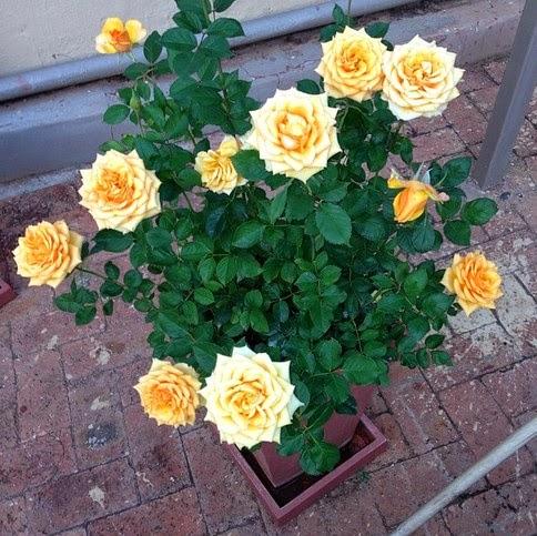 Tips Jitu Merawat Bunga Mawar