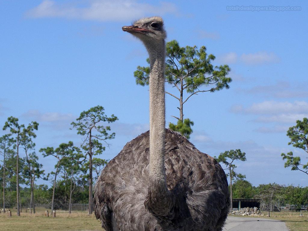 birds desert ostrich hd - photo #27