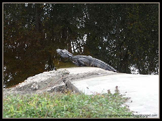 small gator sunning himeself in our vacation home resort