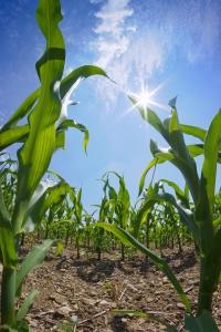Corn Field www.sxc.hu/Krappweis