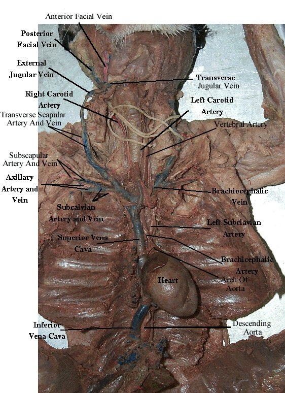 circulatory system veins. circulatory system veins and