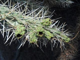 pinchos del cactus Cylindropuntia tunicata