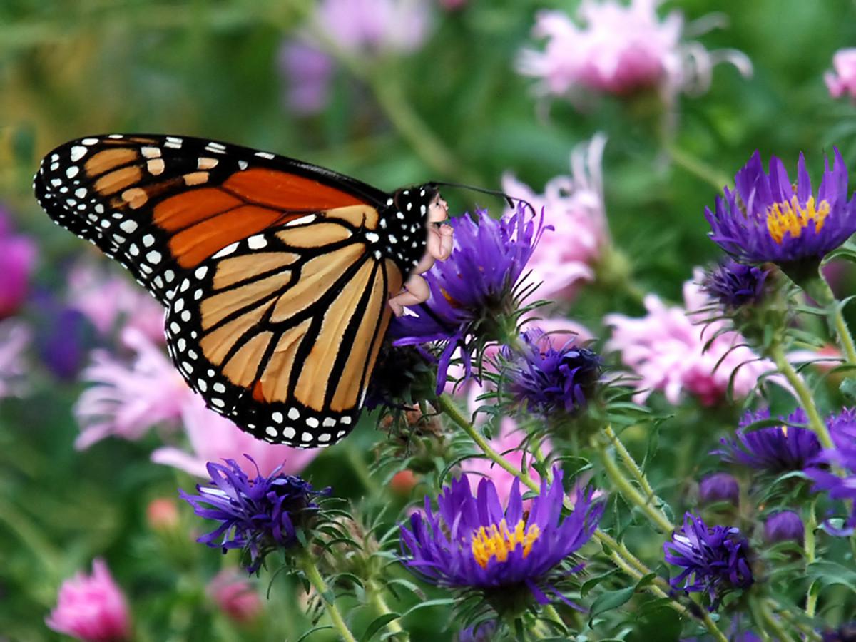 butterfly wallpaper monarch butterfly hd wallpapers
