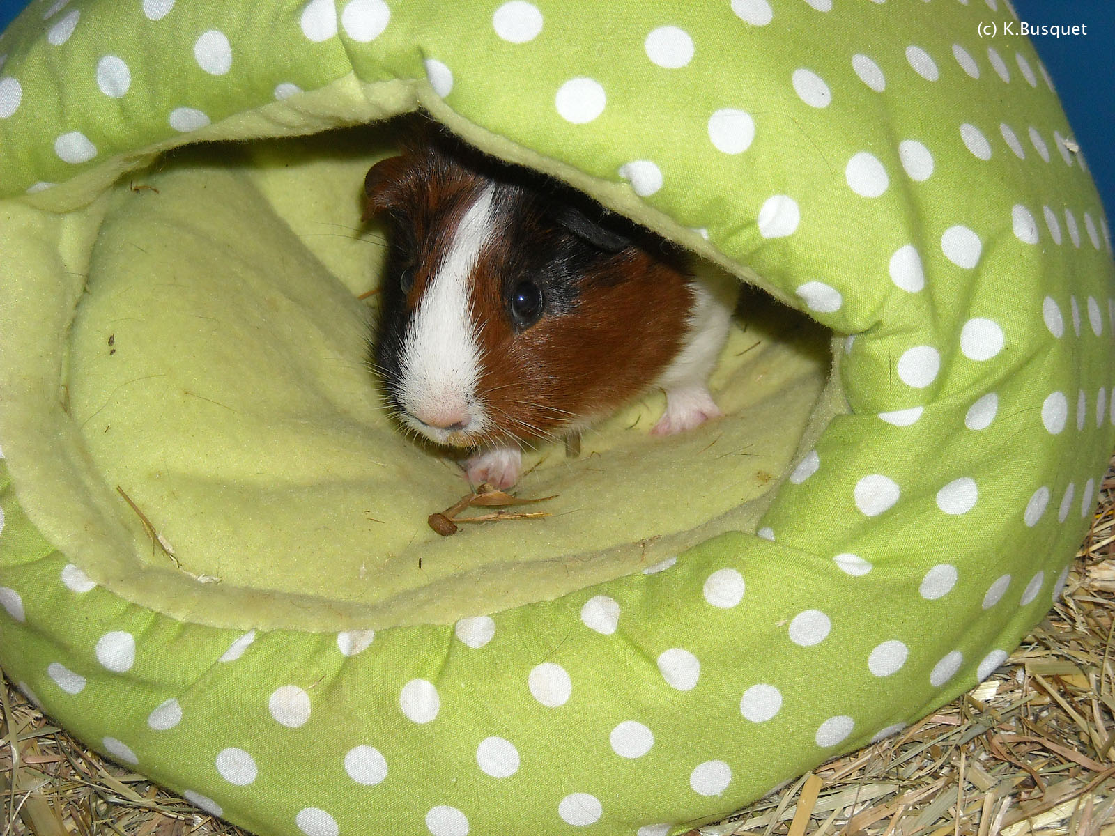 funny guinea pig wallpaper for desktop funny animal