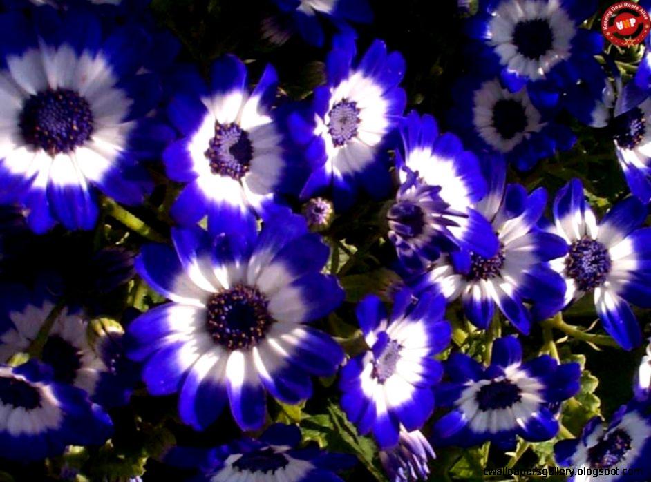 Dark Blue Flowers Names   Flowers Ideas