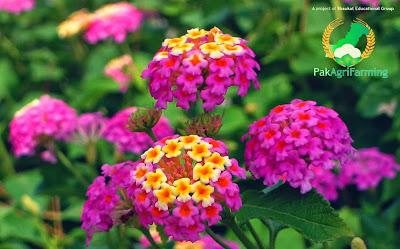 Latana camara inflorescence