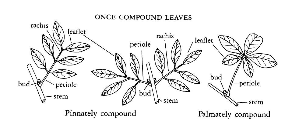 Double Compound Leaf a Compound Leaf is One in