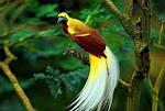 Cendrawasih bird, Papua island