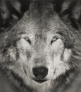 Eripe lupus read about usfws gray wolf delisting proposal jamie rappaport clark publicscrutiny Images