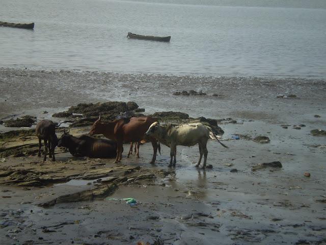 Коровы на отмели реки Чапоры, Гоа, Индия