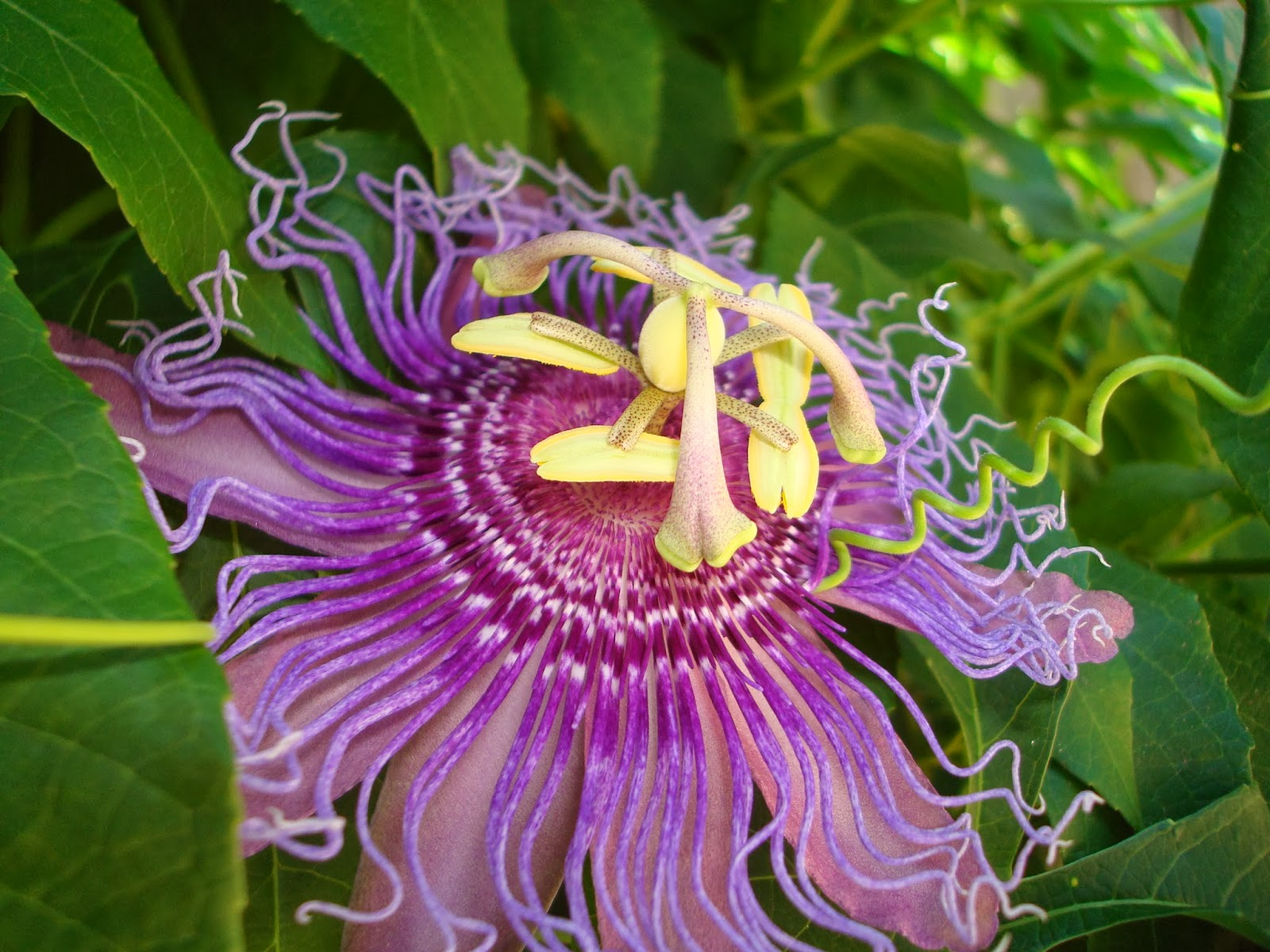 Boline Apothecary Blog Herb Profile Passionflower