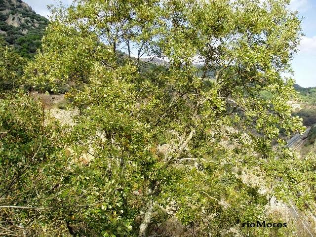 QUEJIGO: Quercus faginea