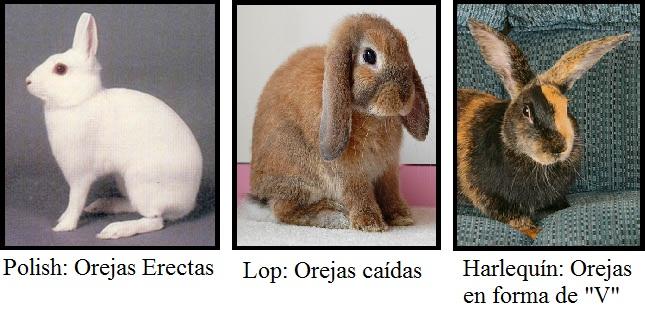 Características anatómicas de los conejos | Cunicultura desde el Perú