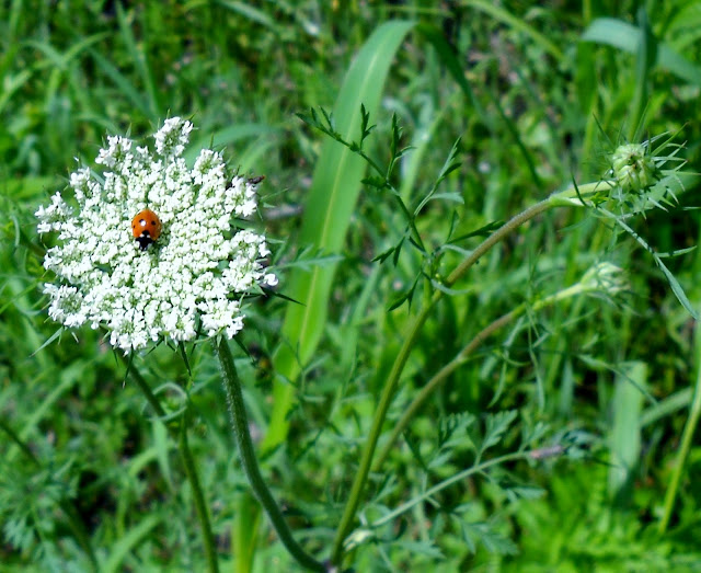 A lady bug visiting Queen Anne's Lace, White Rock Lake, Dallas, TX